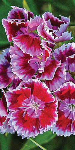 Chinese anjer, Dianthus chinensis